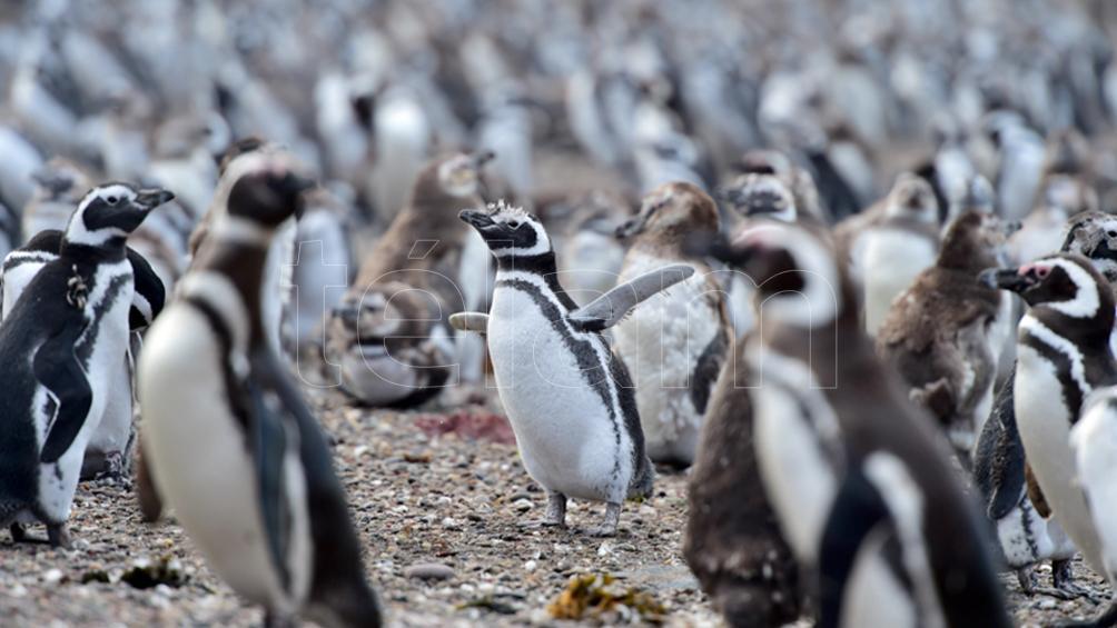El público va a poder visitar la pingüinera de Punta Tombo a partir del viernes