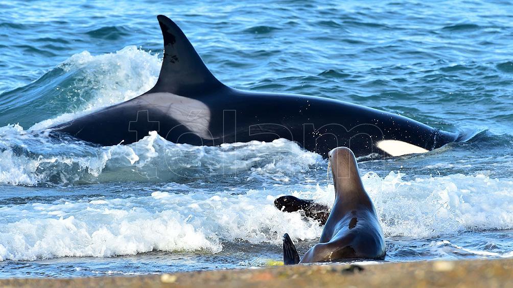 Península Valdés: empezó la temporada de avistamiento de orcas