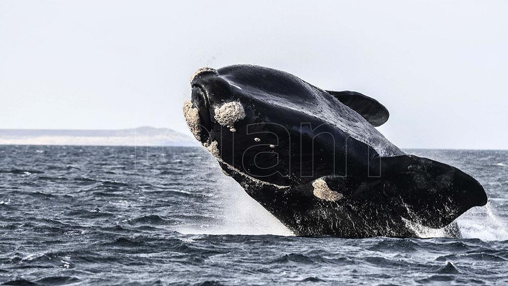 El avistamiento de ballenas de Península Valdés, escogido el mejor del continente